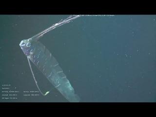 Самая длинная рыба в мире — сельдяной король